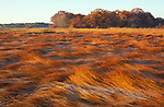 Frost on grasses in a New Hampshire salt marsh. Tidal marsh.  &quot;Massacre Marsh.&quot;  New Hampshire Seacoast.  Fall. Rye, NH