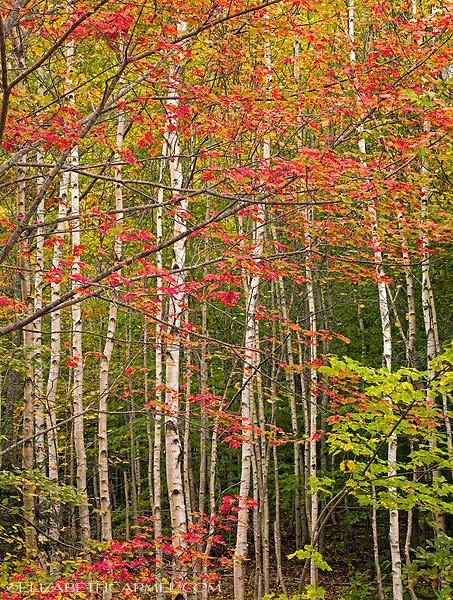 Red Maple & Birch Forest