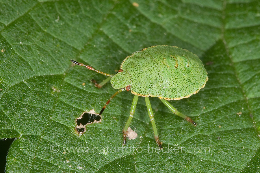 Grüne Stinkwanze, Larve, Nymphe, Jungtier, Palomena cf. prasina, Green Shieldbug, common green shield bug