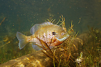 Bluegill Sunfish<br />