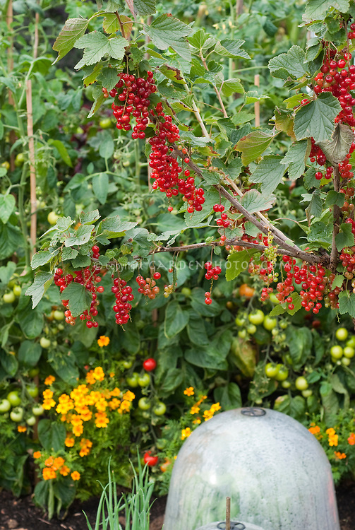Red currants Cherry Red, tagetes, bell jars cloche protection in vegetable & fruit garden, Ribes rubrum