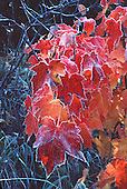 Maple leaves in fall color with morning frost.