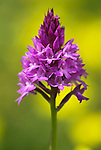 Pyramid Orchid, anacamptis pyramidalis, Queendown Warren, Kent Wildlife Trust, widespread on chalk and limestone throughout England.United Kingdom....
