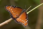 La Guacima de Alajuela, Costa Rica; a Queen Butterfly (Danaus gilippus), southwestern male, sits wings spread on a branch , Copyright © Matthew Meier, matthewmeierphoto.com All Rights Reserved