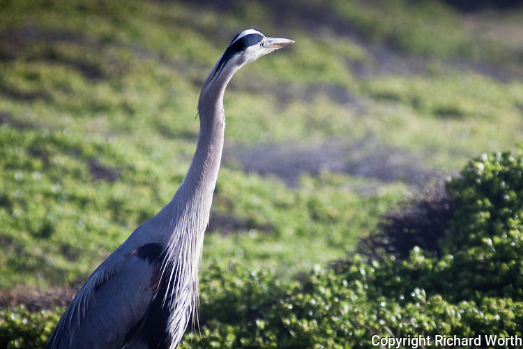 With its head cocked, this Great Blue Heron is looking and listening for prey.