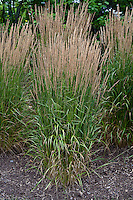 Calamagrostis × acutiflora 'Karl Foerster' --Feather reed grass