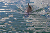 Schweinswal, Schweins-Wal, Braunfisch, Kleiner Tümmler, Kleintümmler, Delphin, Delfin, Wal, Phocoena phocoena, harbor porpoise, common harbor porpoise