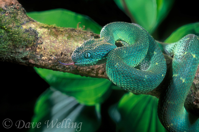 489004001 a captive west african bush viper atheris  chlorechis sits coiled on a tree limb sensing its environment with its tongue