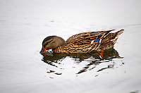 Mallard hen, Sunset Lake, Benton, Arkansas.