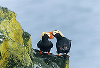 Tufted Puffins, St. Paul, Pribilof Islands, Alaska.