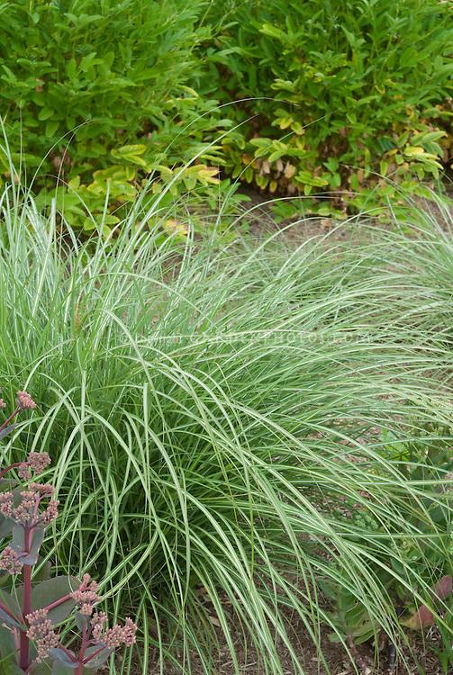Miscanthus sinensis 39 yakushima dwarf 39 plant flower for Dwarf decorative grasses