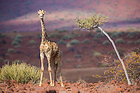 Giraffe in the red granite country near Palmwag, Namibia