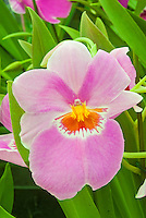 Miltonia Second Love Pansy orchid