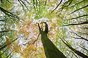Looking up at autumnal beech {Fagus sylvatica} woodland canopy. Derbyshire, UK. October.