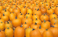 Harvested Pumpkins (Cucurbita pepo).