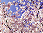 Cherry blossom background. Blooming Japanese cherry tree flowers over blue sky.