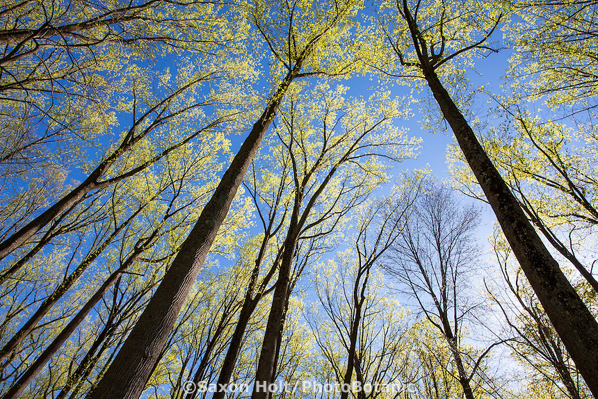 Liriodendron tulipifera - Tulip poplar tree spring leaves unfolding on tall trees with blue sky (Mount Cuba Center) Delaware
