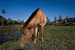 A horse grazes on the grounds of the most famous temple in the ancient Khmer city of Angkor, Angkor Wat, in northwestern Cambodia.