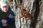 European Hornets (Vespa crabro) were introduced to the United States. In early spring, the queen emerges from estivation and looks for a suitable nesting spot to start a new colonly. Although they are fierce in appearance, they are typically not very aggressive unless harassed. They fly both during the day and at night.