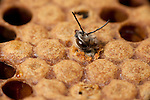 Worker Honey Bee, Emerging, Apis mellifera, Kent UK, hatching from sealed cell in brood chamber, adult