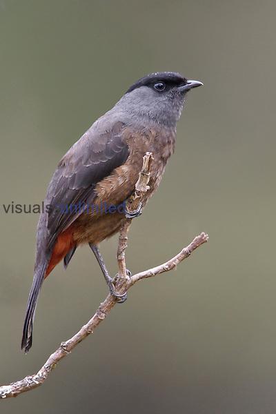 Bay-vented Cotinga (Doliornis sclateri), Bosque Unchog Reserve, Peru.