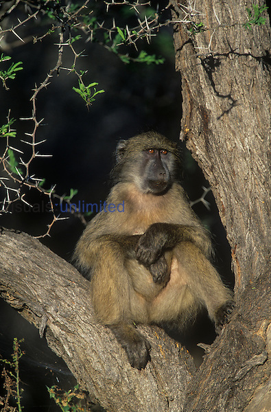 Chacma Baboon (Papio ursinus) Kruger National Park, South Africa