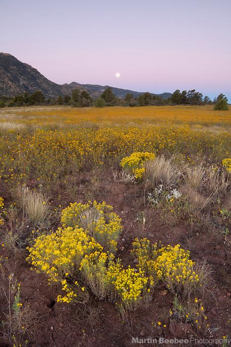 Full moon at dawn over field of annual goldeneyes (Viguiera annua), Prescott National Forest, Prescott, Arizona