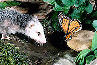 Baby possum and monarch butterfly both drinking from  a watering hole in the garden