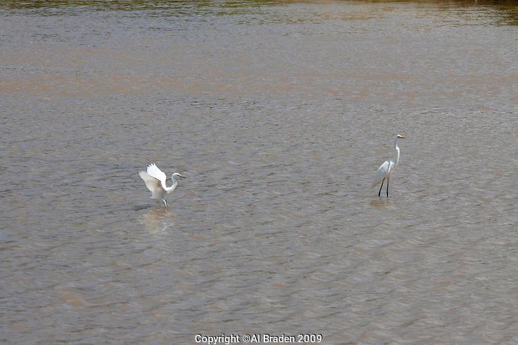 Egrets fish in the rio grande near diversion dam el paso tx for El paso fishing