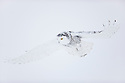 Snowy owl in winterSnowy owl flying in white-out conditions in winter, Canada