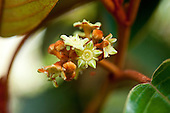 A close-up of the flowers of a kauila tree, Hawai'i.