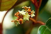 A close-up of the flowers of a kauila tree, Hawai'i.