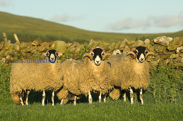 Swaledale sheep standing next to drystone wall