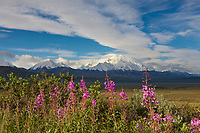 Pink blooming wildflowers and Mt Mckinley, locally called Denali, along the Denali Park road, Denali National Park, interior, Alaska.