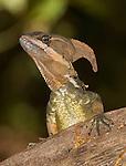 Male common basilisk, Basiliscus basiliscus. Manuel Antonio National Park, Costa Rica