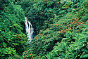 Nanue Falls, Hamakua Coast, Island of Hawaii. Tropical forest of mostly exotic species; orange blossoms are African Tulip tree.