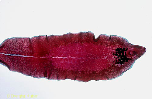 1Y03-009x  Sheep Liver Fluke - flatworm -Platyhelminthes - parasite/sheep - Fasciola hepatica