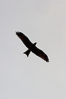 "Raptor, called ""Kite"" by the locals. Nimule, Sudan, Africa, 2005"