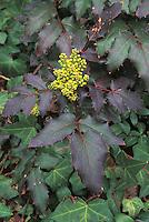 Mahonia aquifolium Atropurpurea in yellow bloom