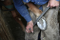 """Farrier Todd Graham from Chehalis, Wash., trims the foot of See My Magic, a 13 year old Tennessee Walking Horse in Roy, Wash. prior to putting on his horse shoes.  Graham, who has been a horseshoer for 20 years, says its like trimming fingernails. He is the only farrier currently in Western Washington who will put show shoes on horses. """"There's not very many of those around anymore,"""" he says of the performance show riders. He says people got out of it because its expensive to keep these horses and many riders got sick of the regulations. (photo © Karen Ducey / Animal News Northwest)"""