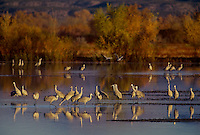 512666414 a large flock of sandhill cranes grus canadensis forage in a large pond in bosque del apache national wildlife refuge new mexico