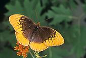 Diana Fritillary Butterfly (Speyeria diana) male.