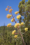 Golden-flowered Agave .Agave chrysantha.Globe, Arizona, United States.18 July      Plant in bloom       Agavaceae
