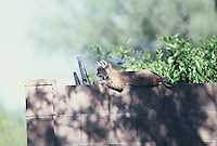 Young Bobcat rests on a block wall on the east side of Tucson Arizona on a spring morning.