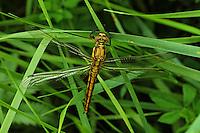 Großer Blaupfeil, Weibchen, Schwarzspitzen-Blaupfeil, Orthetrum cancellatum, black-tailed skimmer, female, Orthétrum réticulé