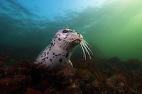 Harbour Seal (Phoca vitulina) underwater in the Strait of Georgia, British Columbia, Canada.
