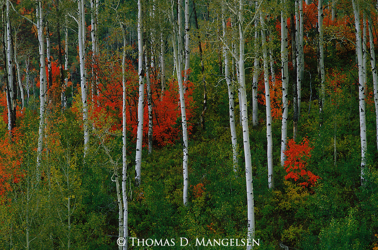 Red mountain maples  contrast against the white bark of aspen trees in the Wasatch Mountains, Utah.