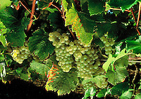 Grapes Ready For Harvest, Around Cutchogue, New York, USA