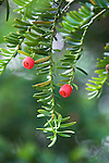 The Defynnog Yew tree in St Cynogs churchyard near Sennybridge Powys Wales UK. Yew tree berries. This five thousand year old tree is probably the oldest living tree is Europe.
