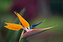 Bird of Paradise blossom (Strelitzia reginae); Hawaii.